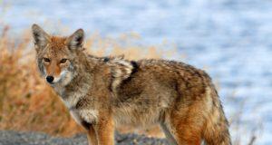 Duncanville Coyote Sightings