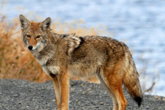 Duncanville Coyote Sightings
