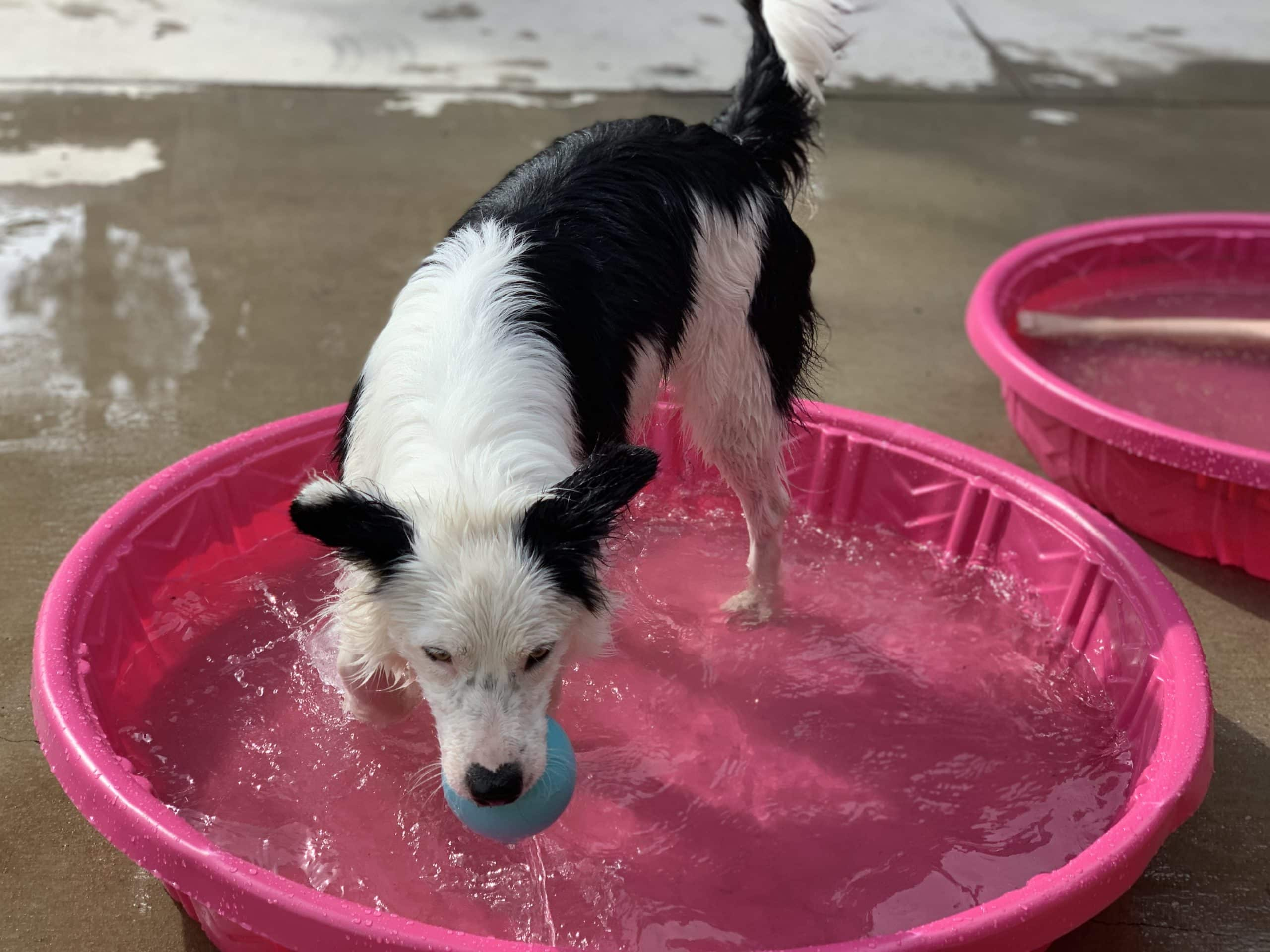 border collie in baby pool