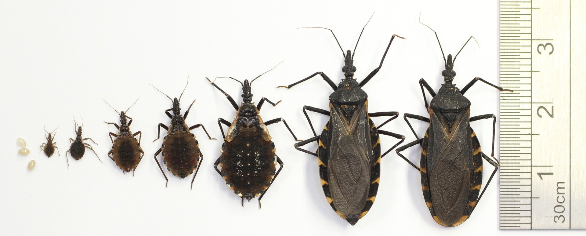 kissing bug life cycle