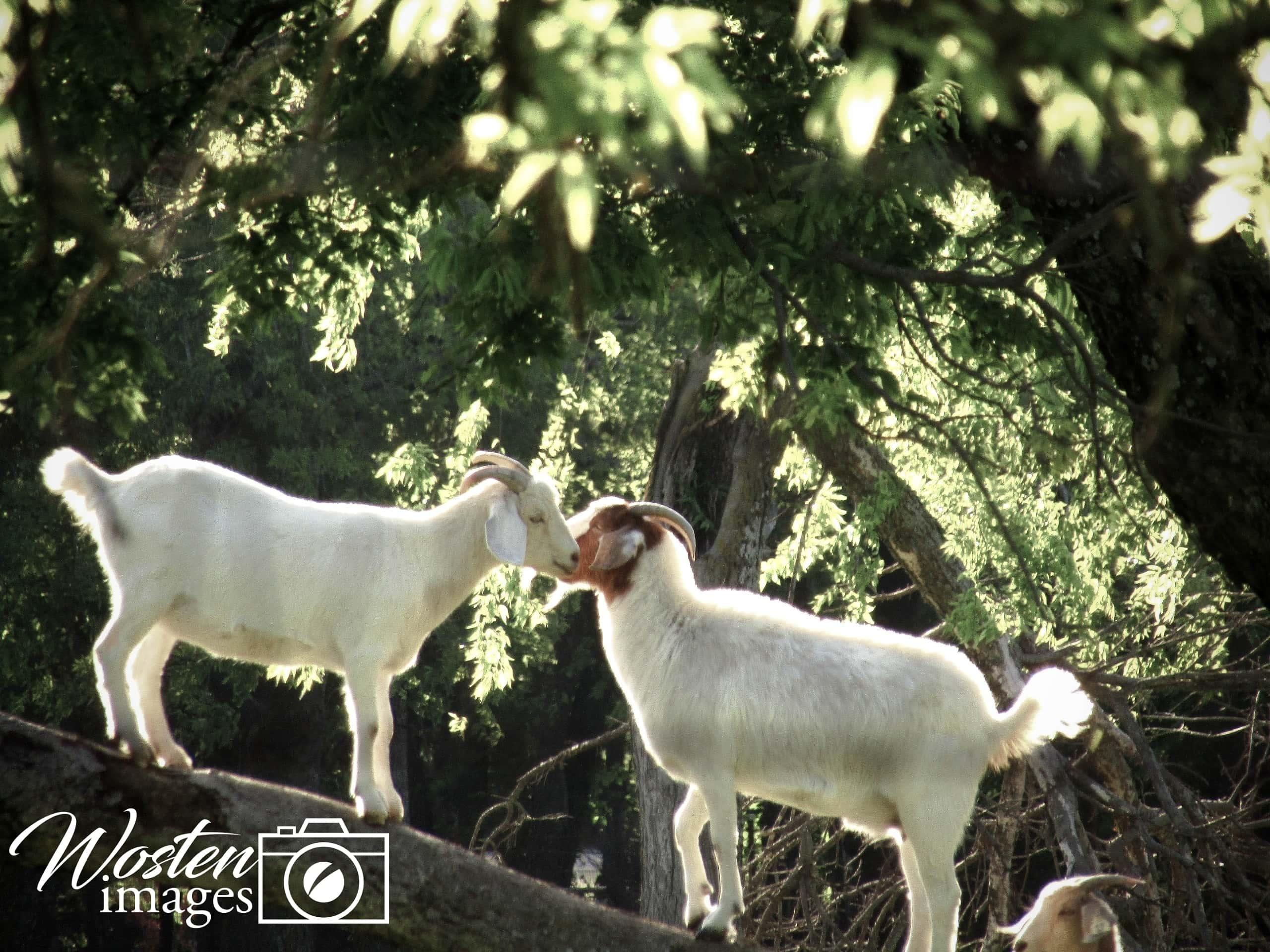 goats on a tree limb